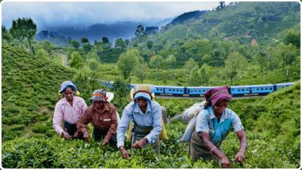 Train dans les champs de thé à Happutalé