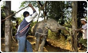 maltraitance d'un éléphant