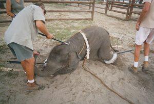 éléphants à Kegalle