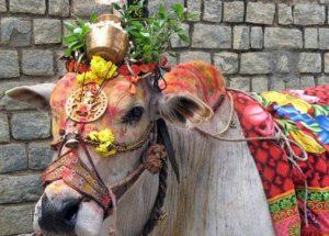 Vache sacrée au Sri Lanka