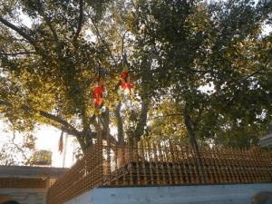 arbre à bodhi
