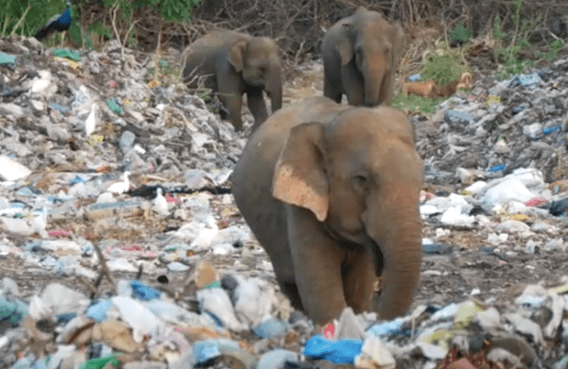 elephants meurent de plastique